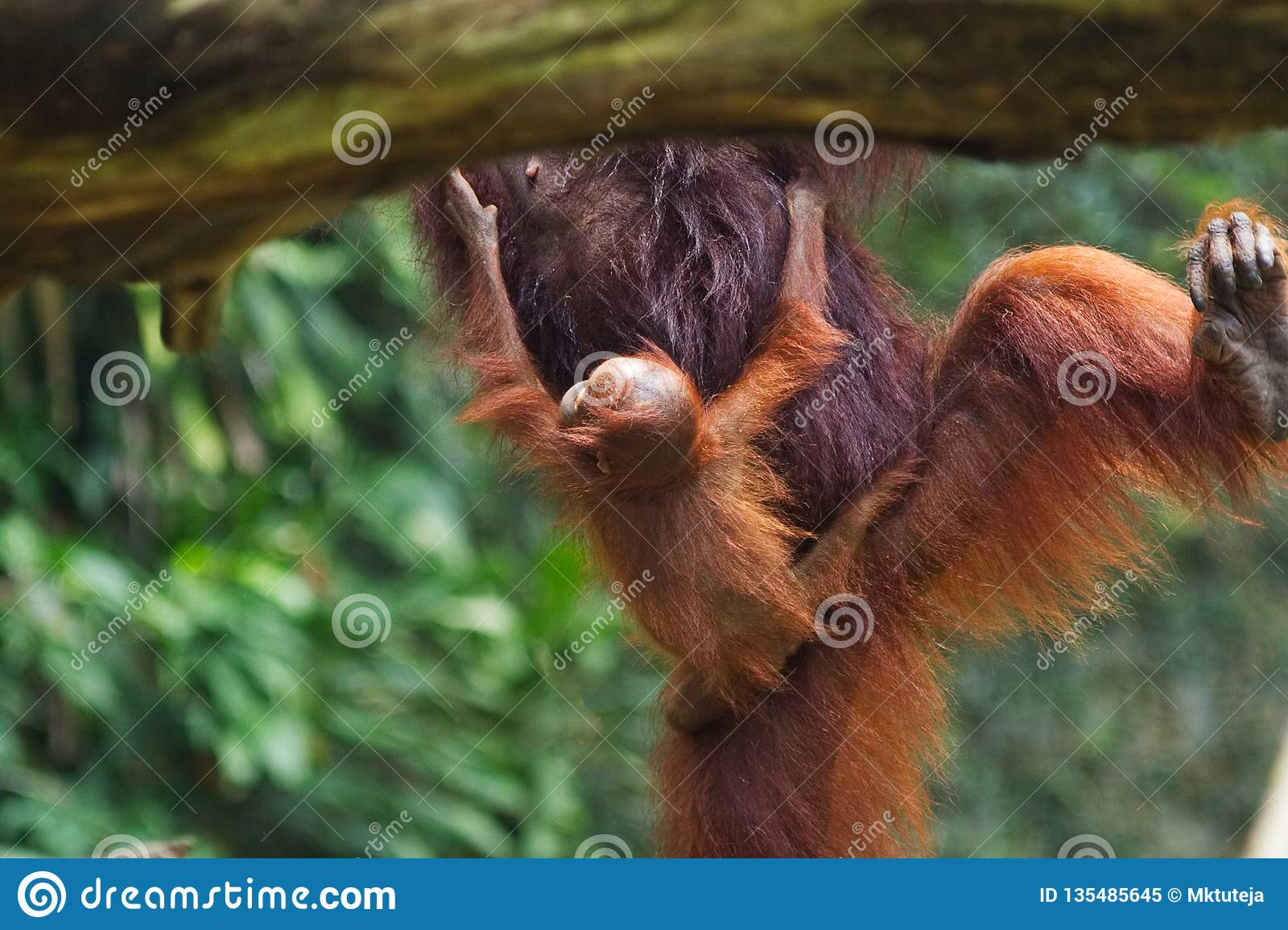 Baby orangutan holding mothers belly while mother jumps from tree to tree