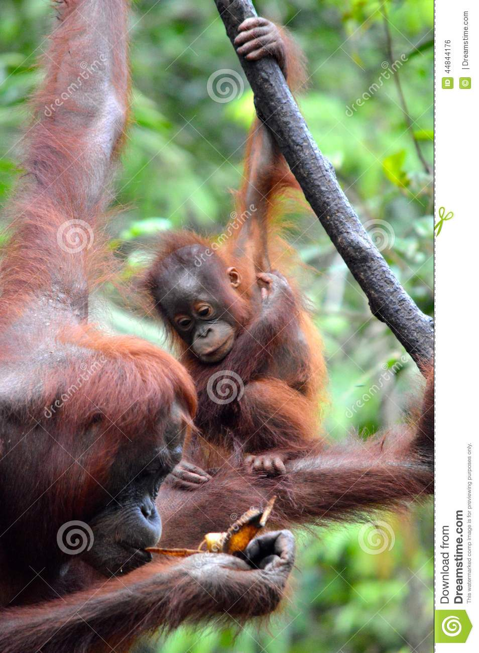 Download Baby Orangutan stock photo. Image of male, rainforest - 44844176