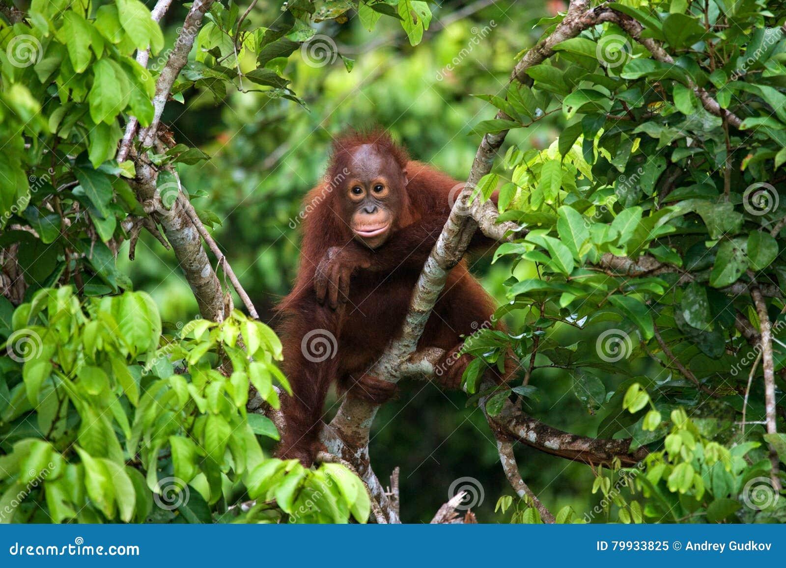 A baby orangutan in the wild. Indonesia. The island of Kalimantan (Borneo).