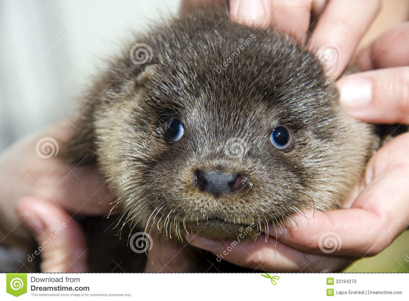 baby otter  lutra lutra  stock photo image 22164270 otter clipart images otter clipart for vbs