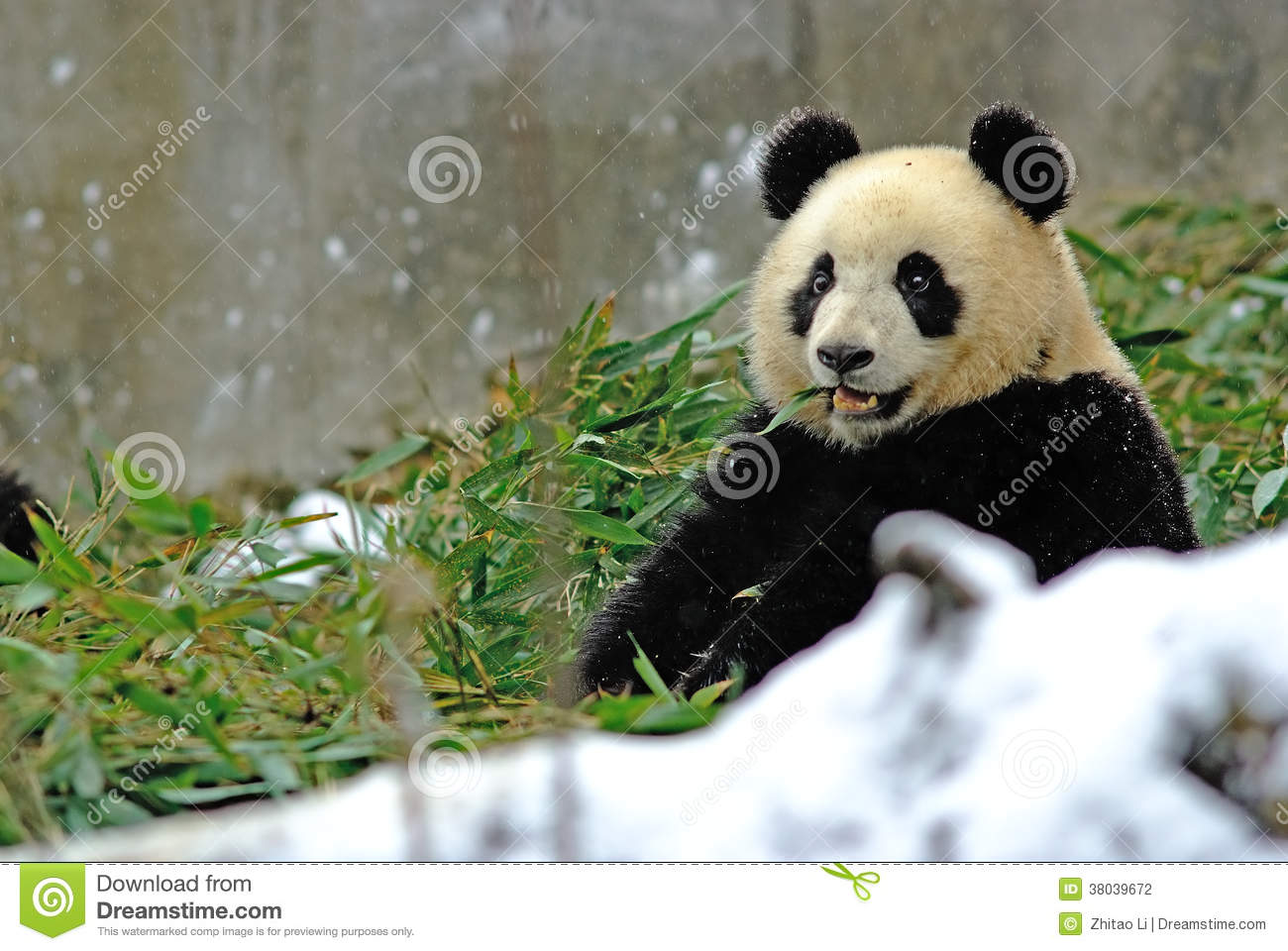 a baby panda is eating bamboo in bifengxia stock photo image of