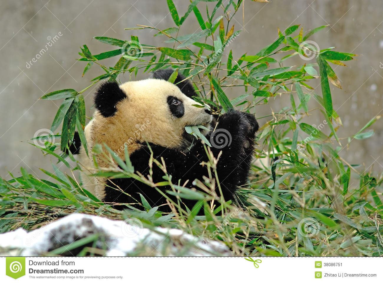 a baby panda is eating bamboo in bifengxia stock image image of