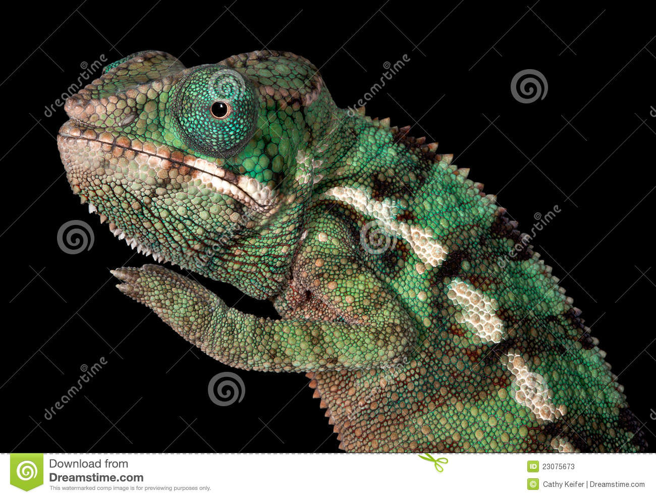 baby Ambilobe Panther Chameleon is posing for a portrait Baby Ambilobe Panther Chameleon