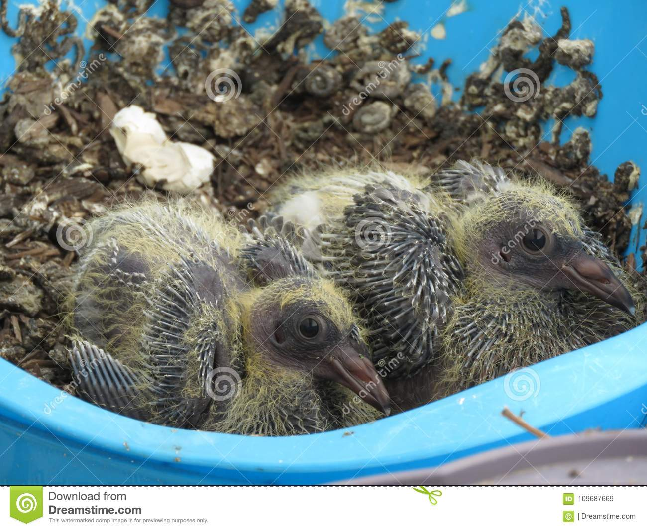 Baby Pigeons On A Balcony In Hollywood, CA Stock Image ...