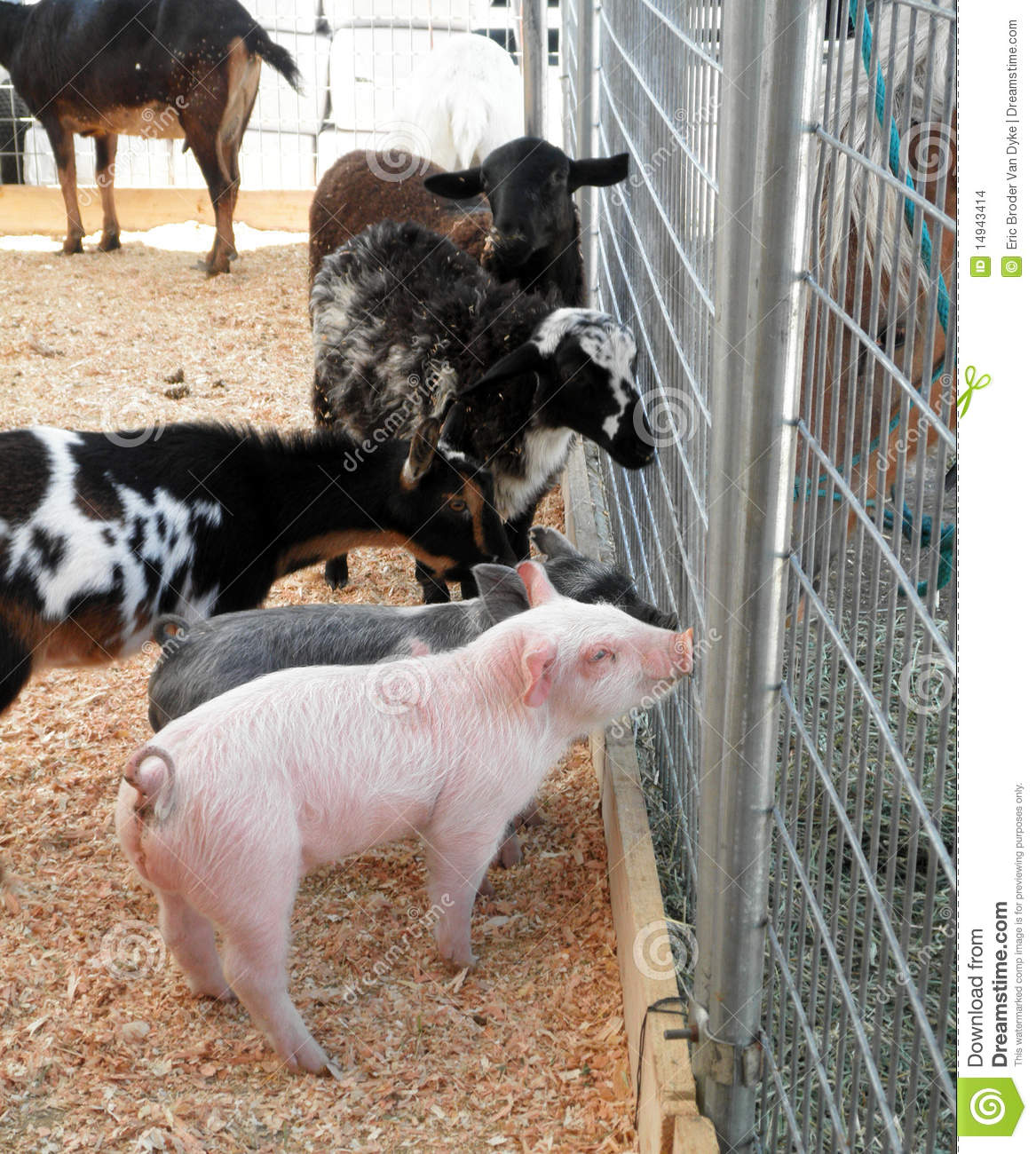 Baby pigs, goats and sheeps ask a horse for advice