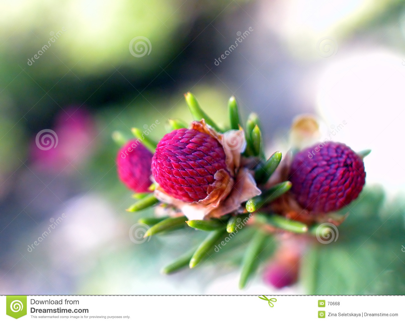 Baby Pine Cone Stock Photo Image Of Cone Abstract Purple 70668