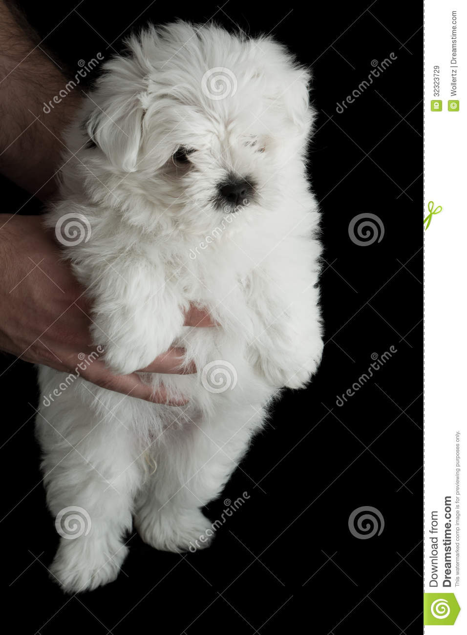 Closeup of a baby poodle isolated on a black background.