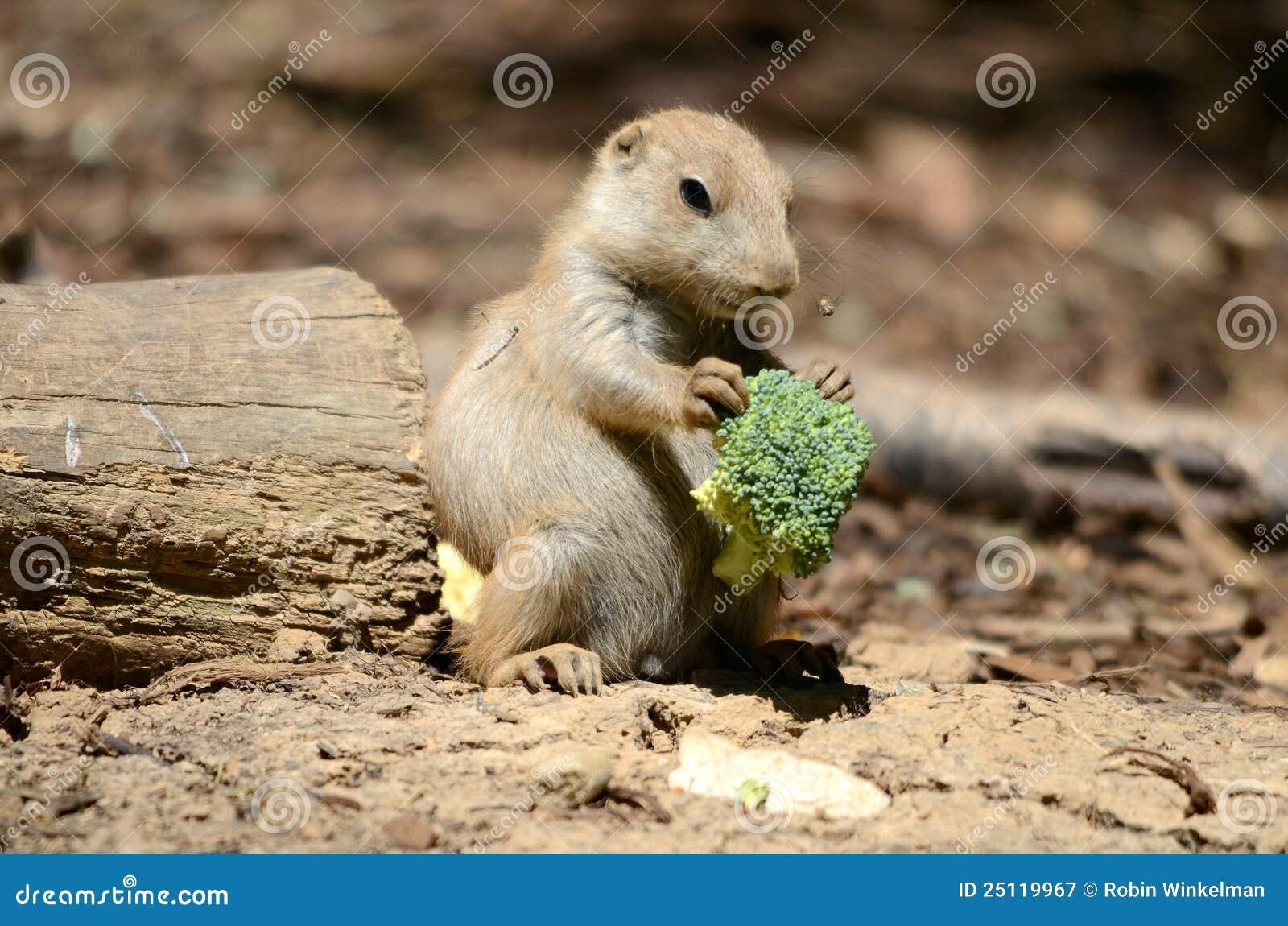 Prairie Dog Eating Broccoli