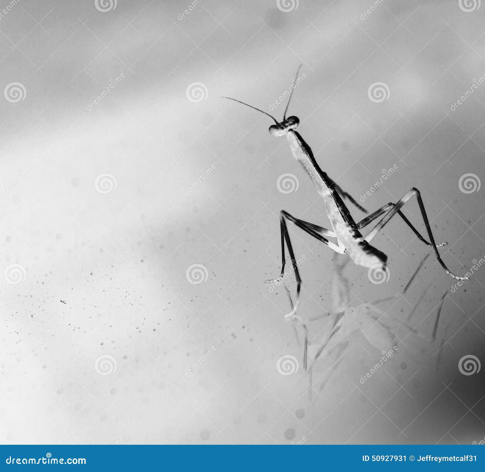 Baby Praying Mantis Mantodea Stock Image Image Of Little White