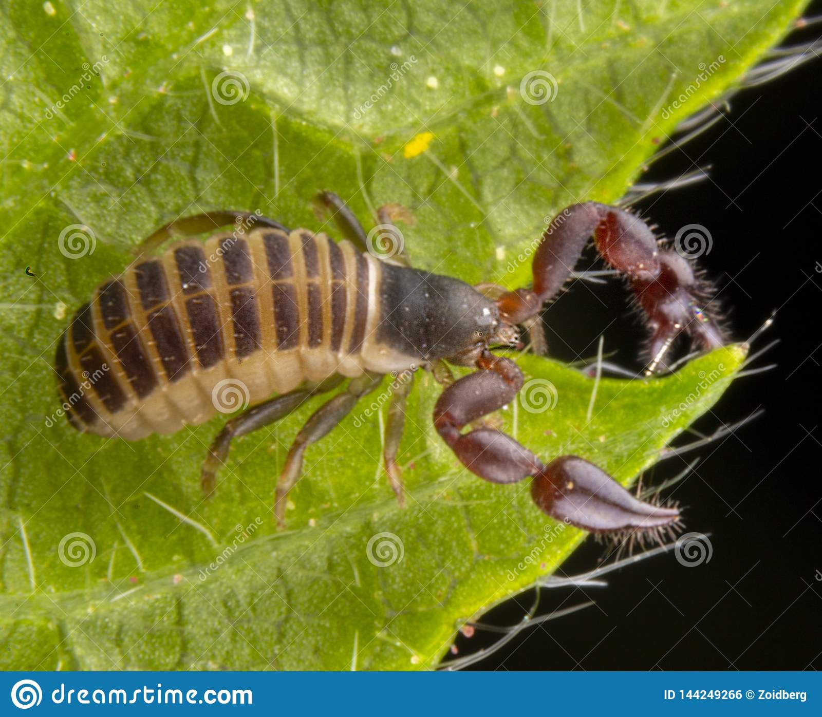 Baby pseudo scorpion posing on a green leave