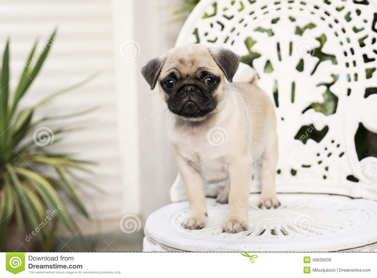 Baby Pug Stock Image Image Of Little Looking Purebred 49030039