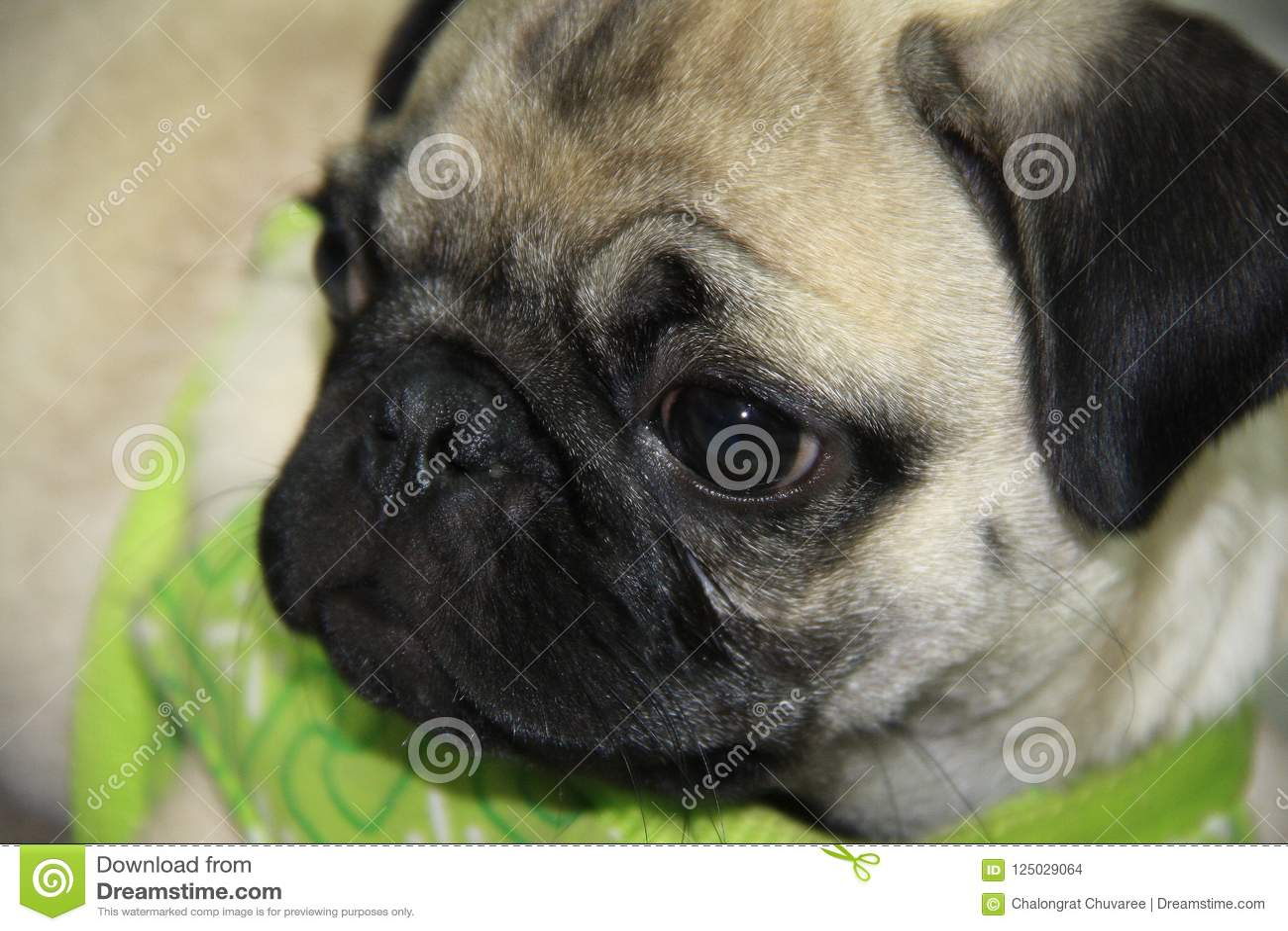 Baby Pug Puppy Stock Photo Image Of Purebred Black 125029064