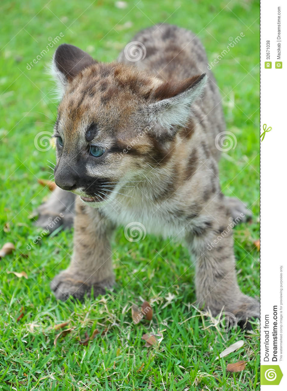 d04f1e1a3f36 Baby Puma and kitten are very similar. But baby puma is a point along body  and will fade as it grow up.