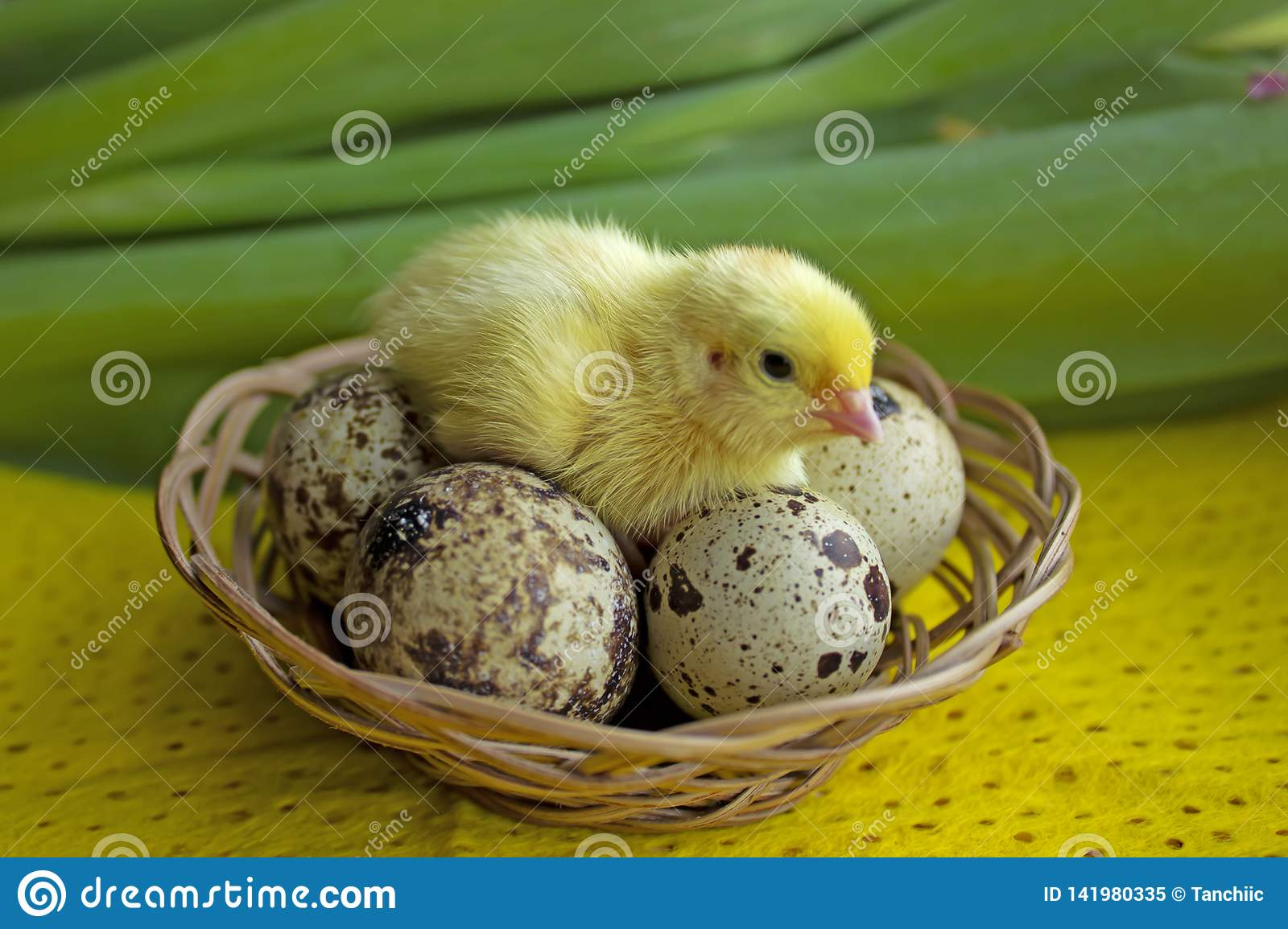 Baby quail sitting on eggs in a basket. Easter. The concept of the birth of a new life