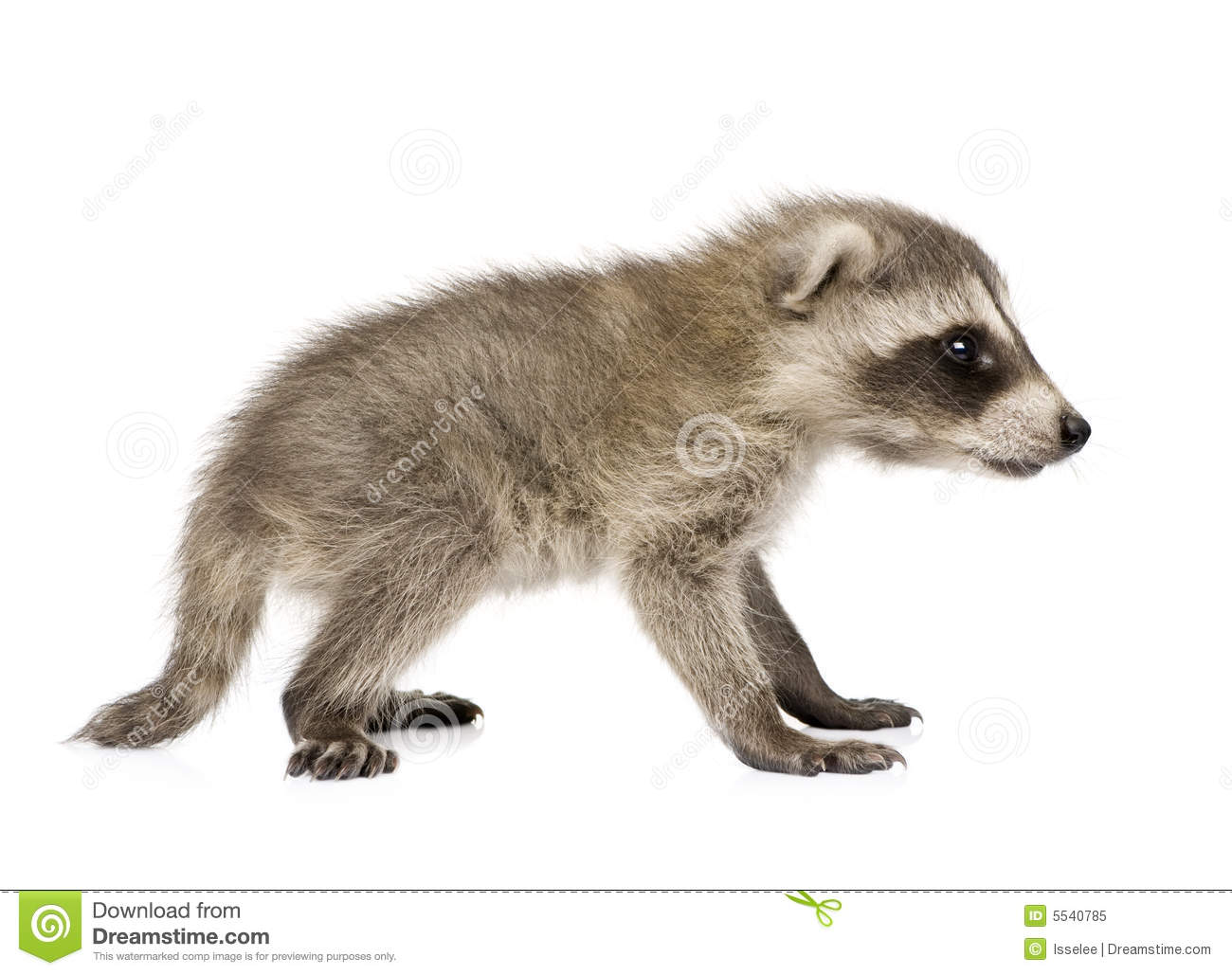 free hq baby raccoon - photo #31