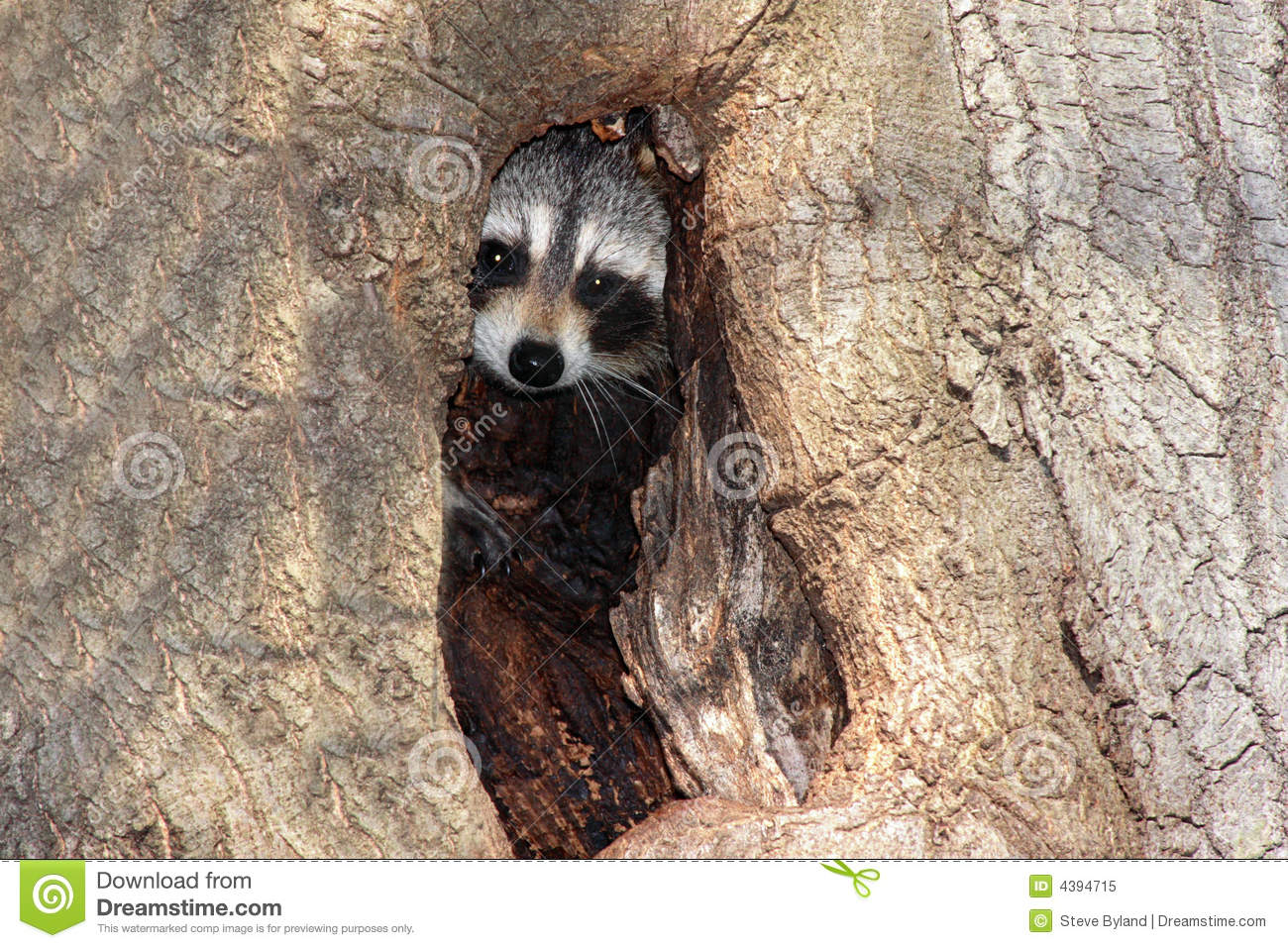 free hq baby raccoon - photo #39
