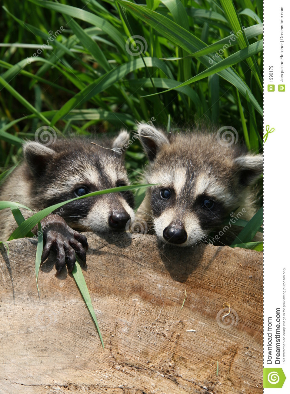 free hq baby raccoon - photo #7
