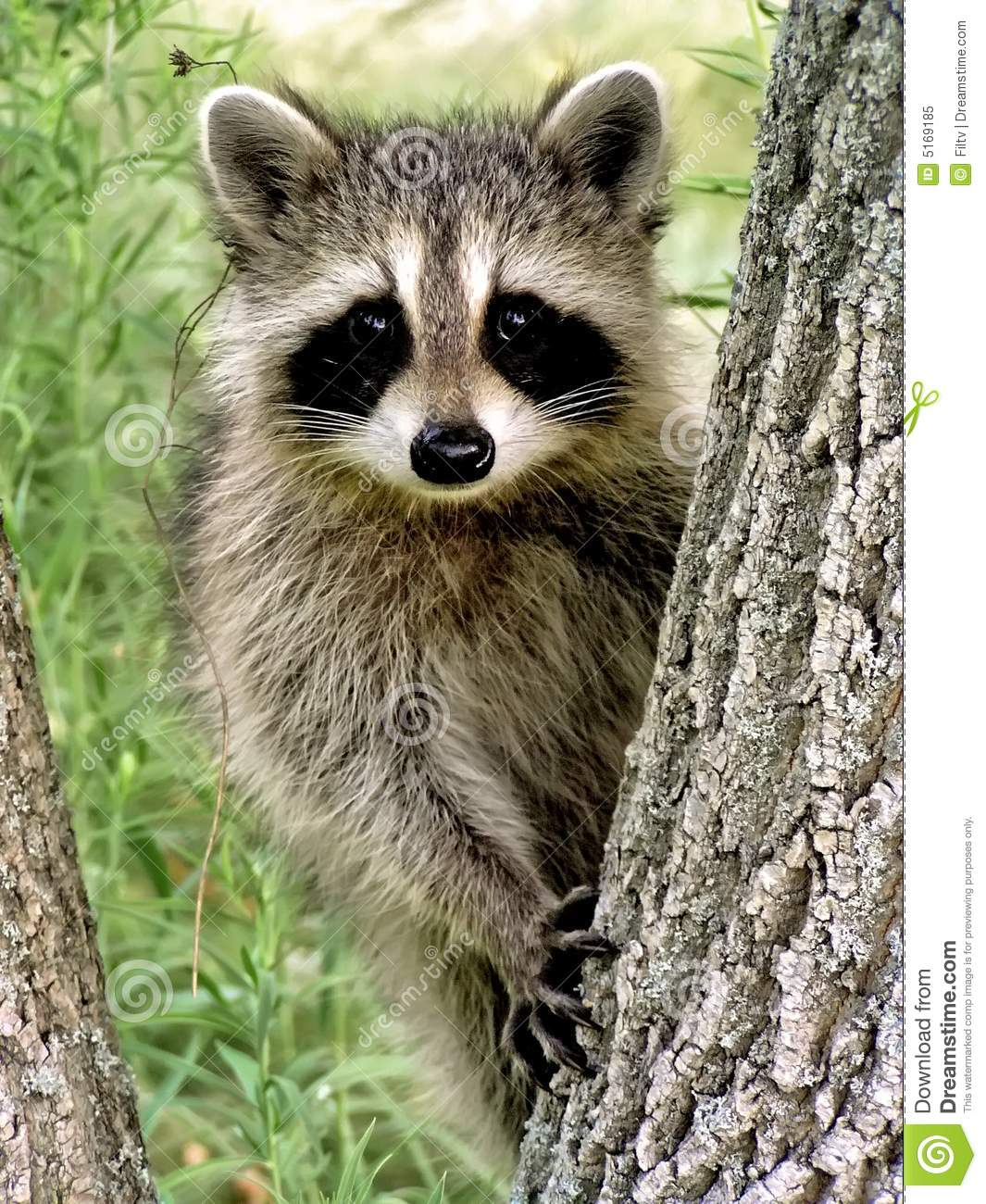 Baby Racoon Royalty Free Stock Photo - Image: 5169185