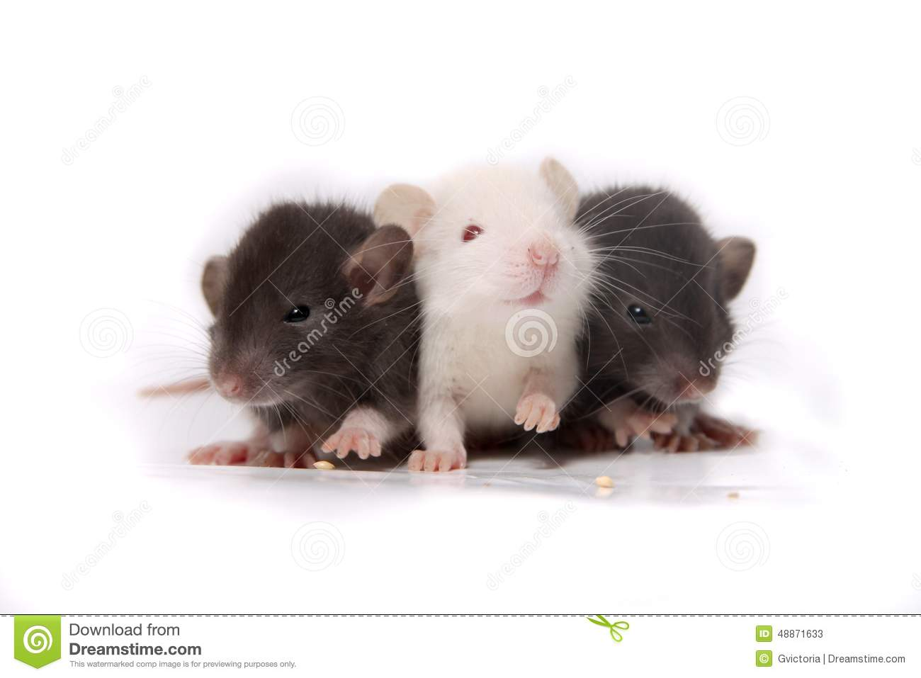 Baby Rats Stock Photo Image 48871633