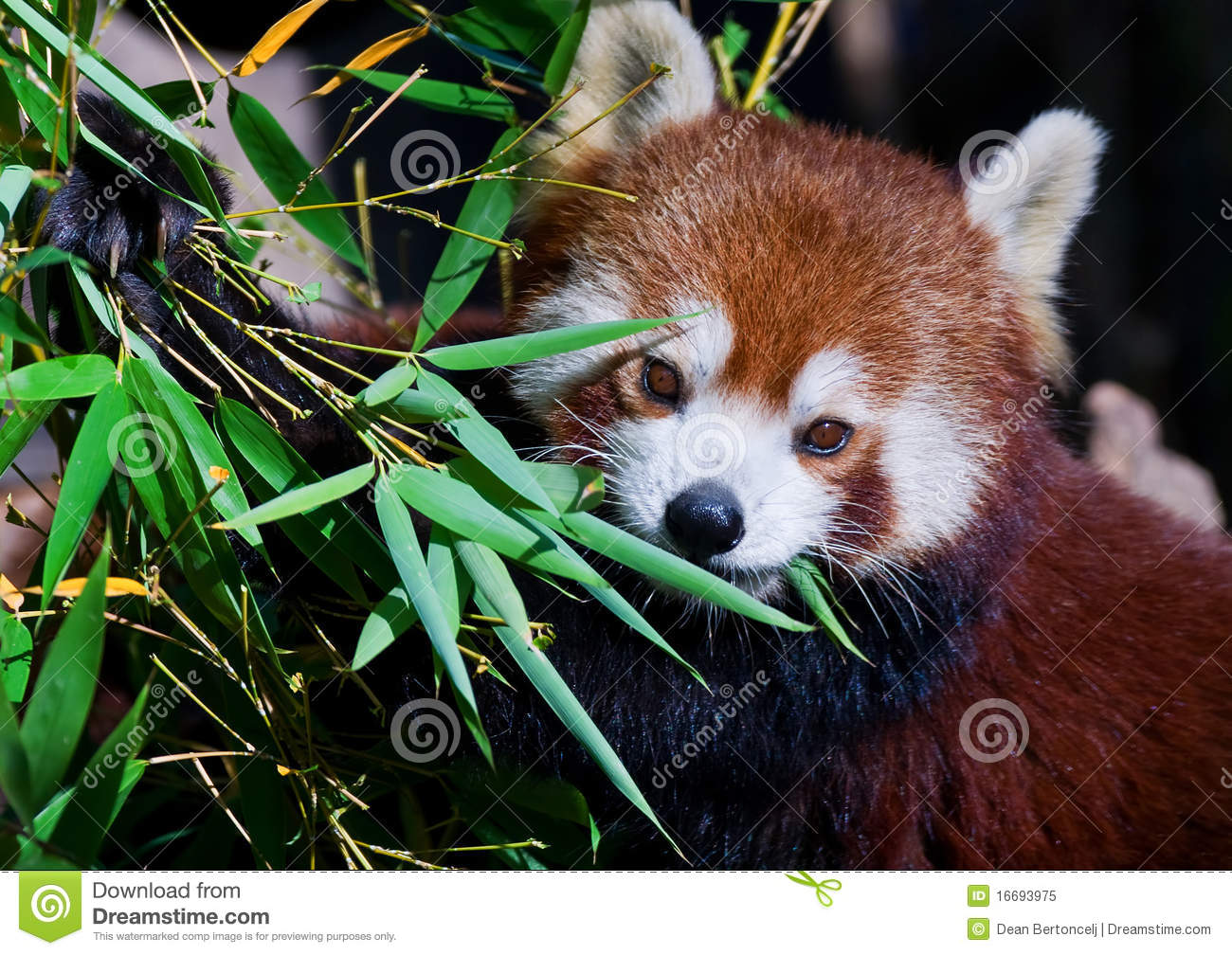 Baby red panda eating - photo#7