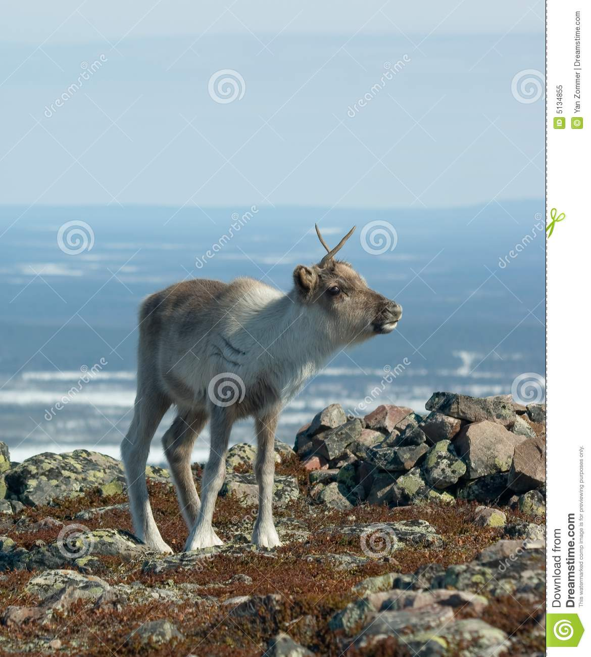 Baby reindeer royalty free stock photo image 5134855