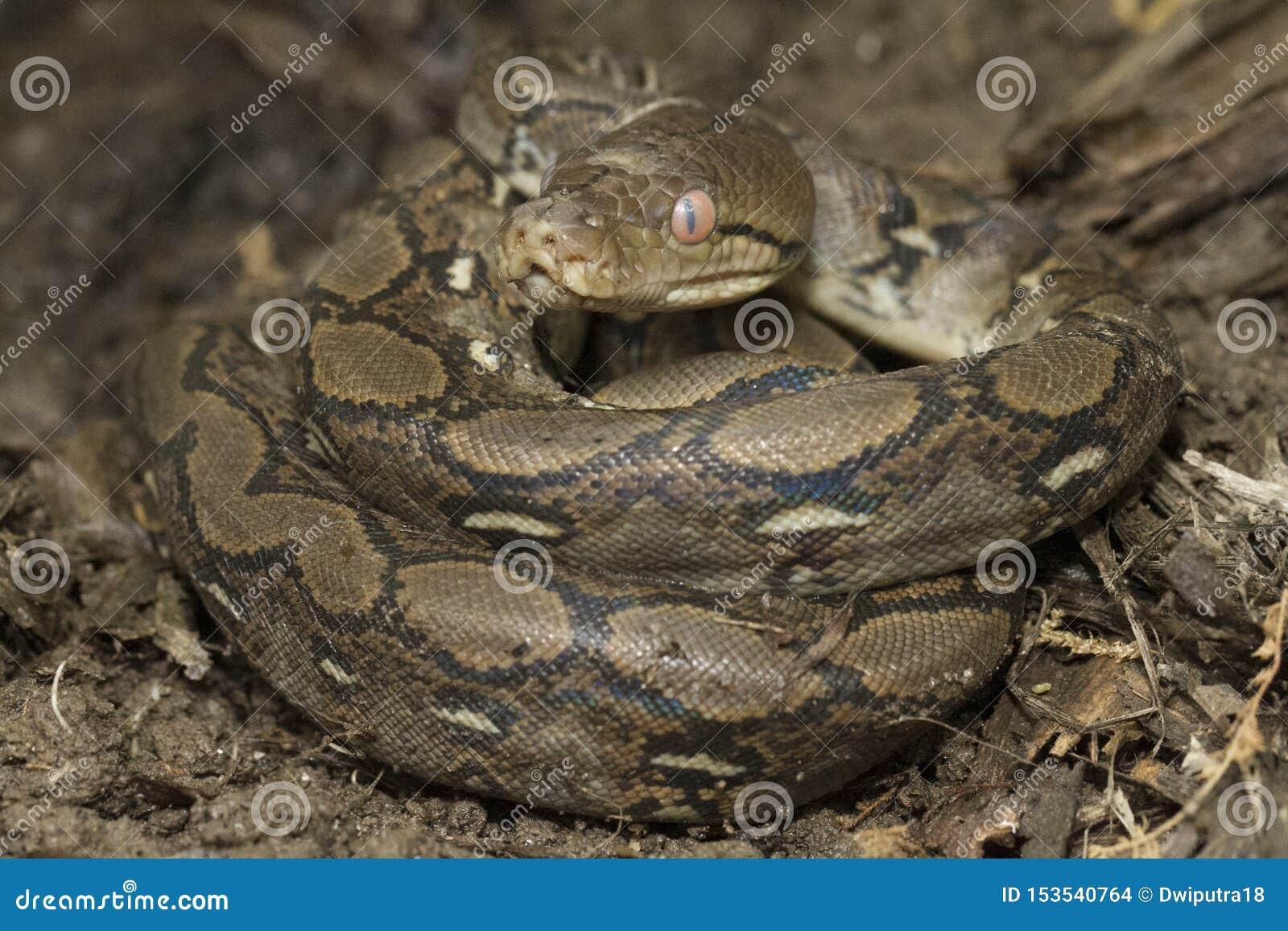Baby Reticulated Python Python reticulatus