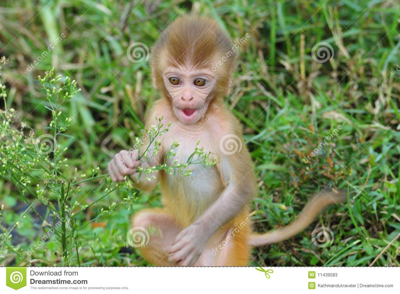 Baby Rhesus Macaque Monkey Stock Image Image Of Wild