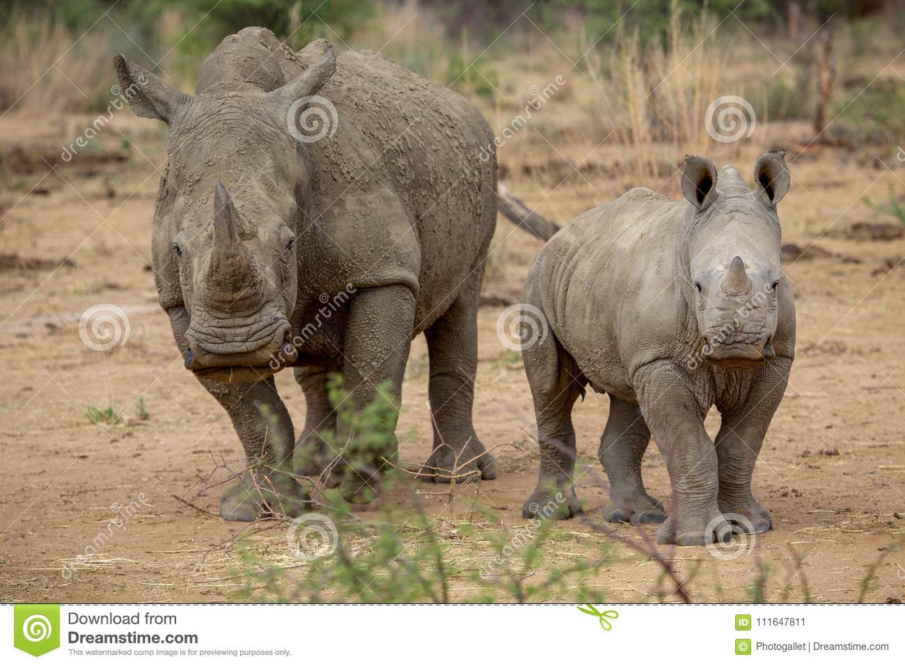 A baby rhino and his mother in the Kruger National Park