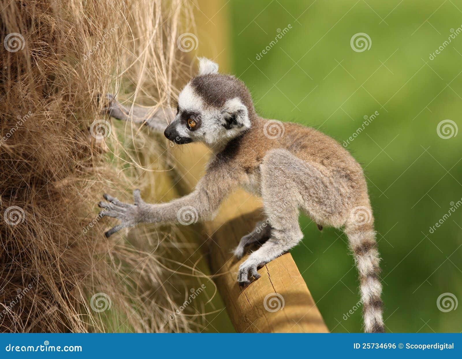 Ring tailed lemur baby sale - photo#19