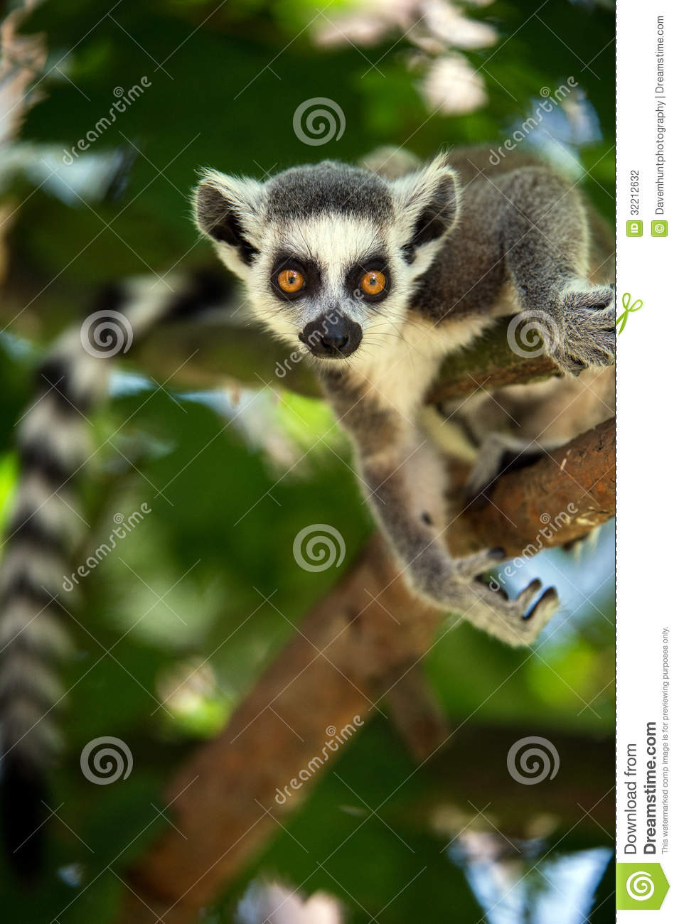 Baby Ring Tailed Lemur