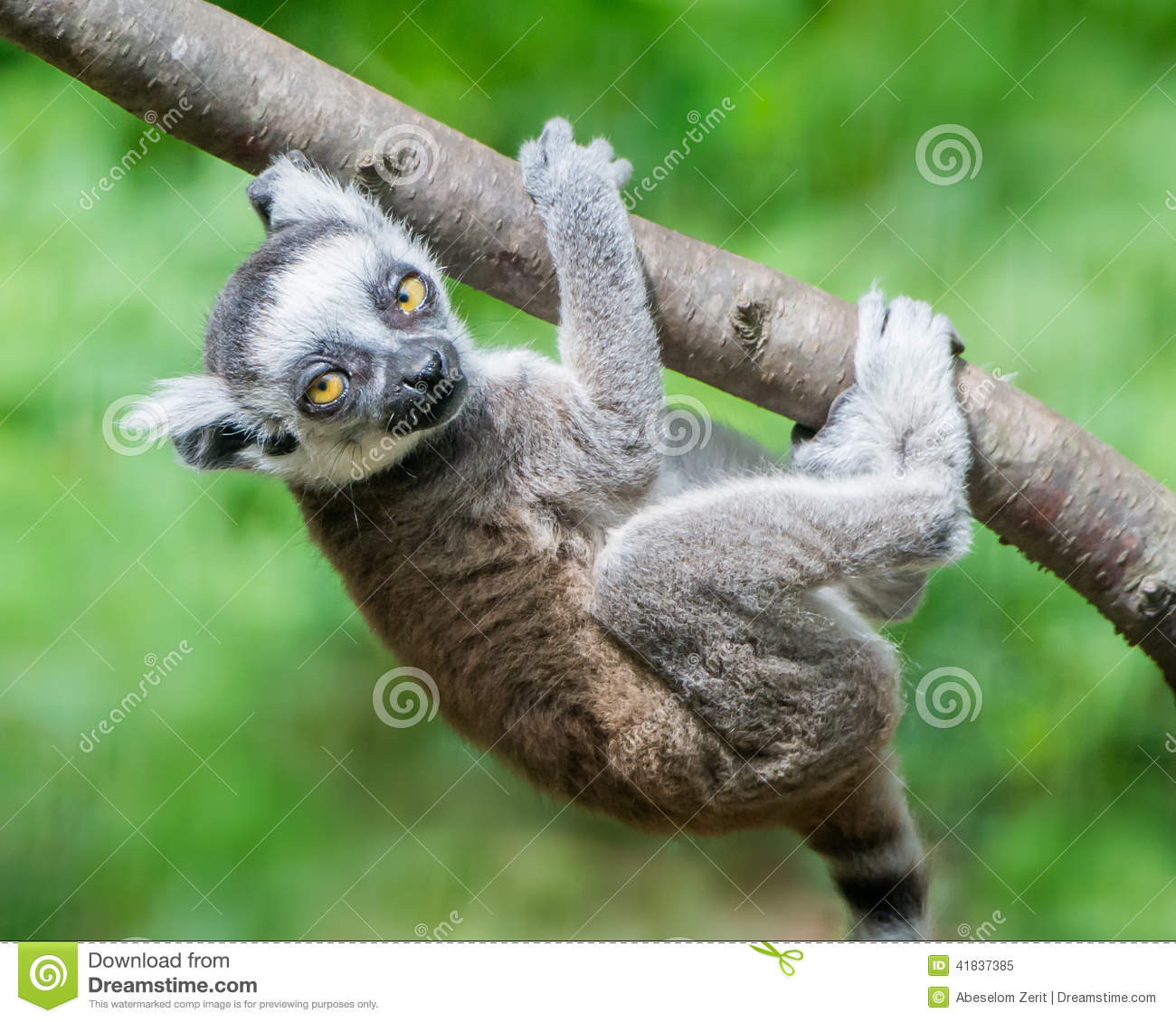 Baby Ring-Tailed Lemur III
