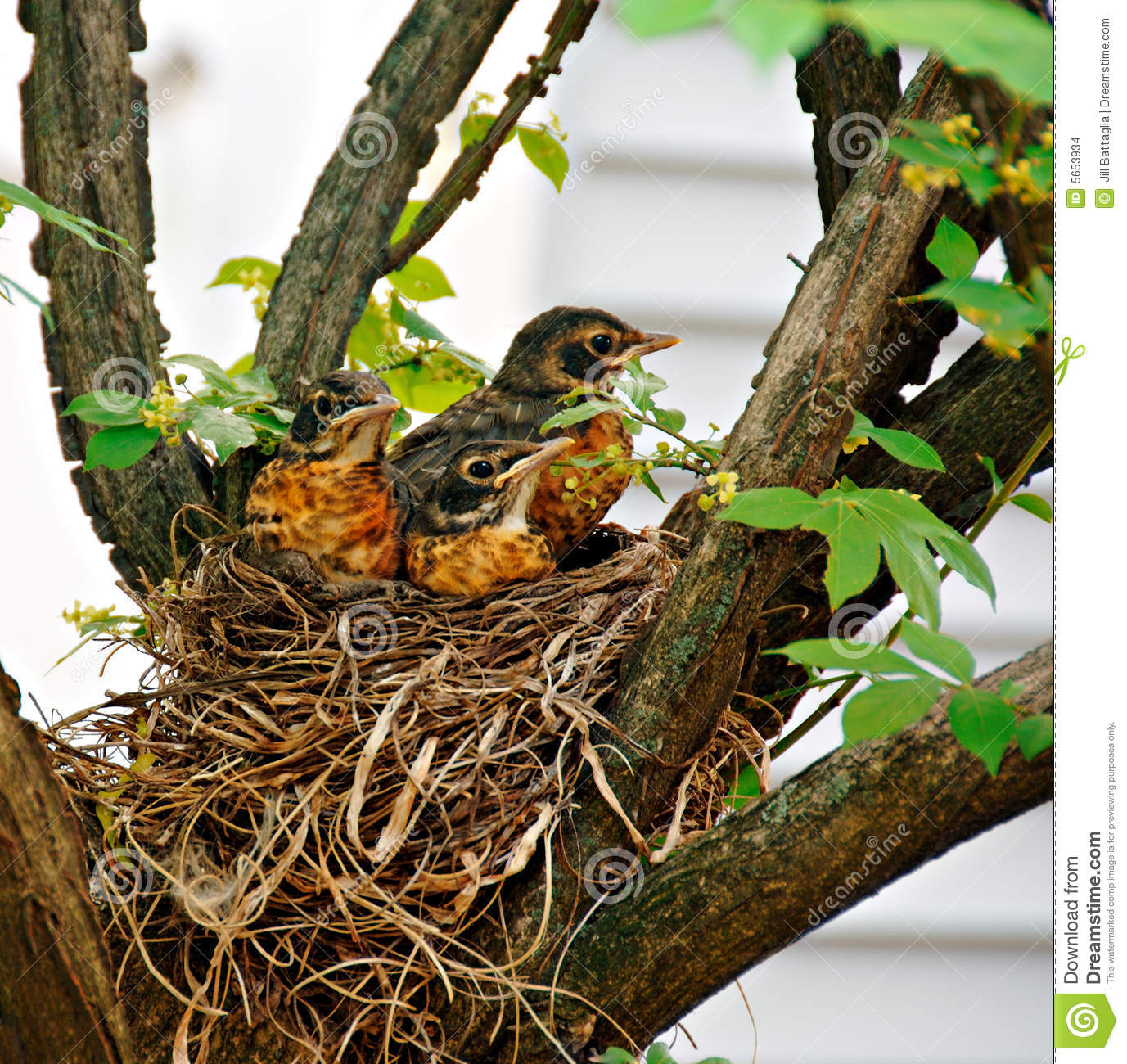 Three baby robins in their nest waiting for their mother.