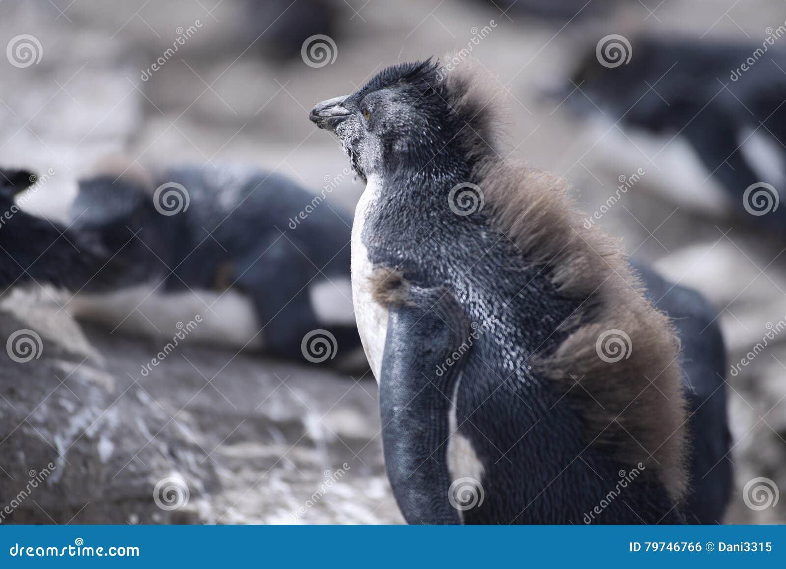Baby Rockhopper Penguin on The North East Coast of East Falkland