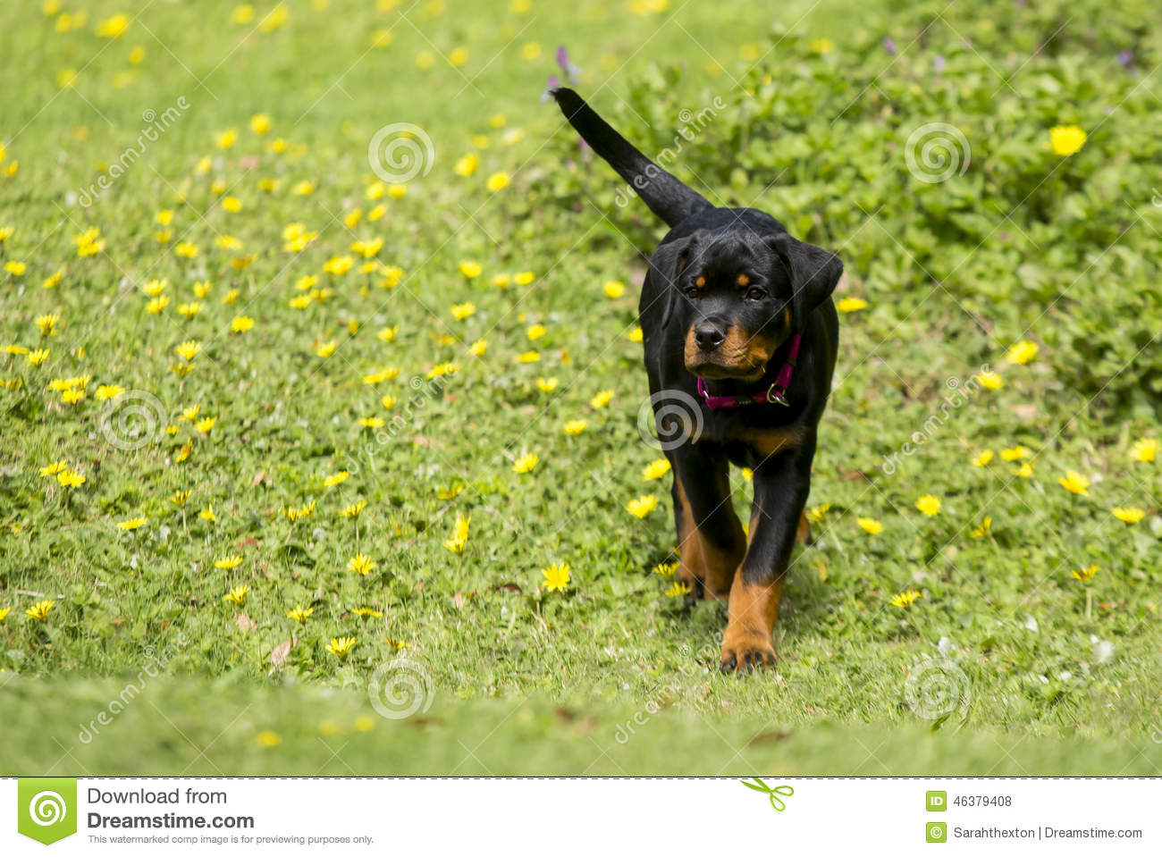 Baby Rottweiler Puppy Stock Photo Image Of Flowers Friend 46379408