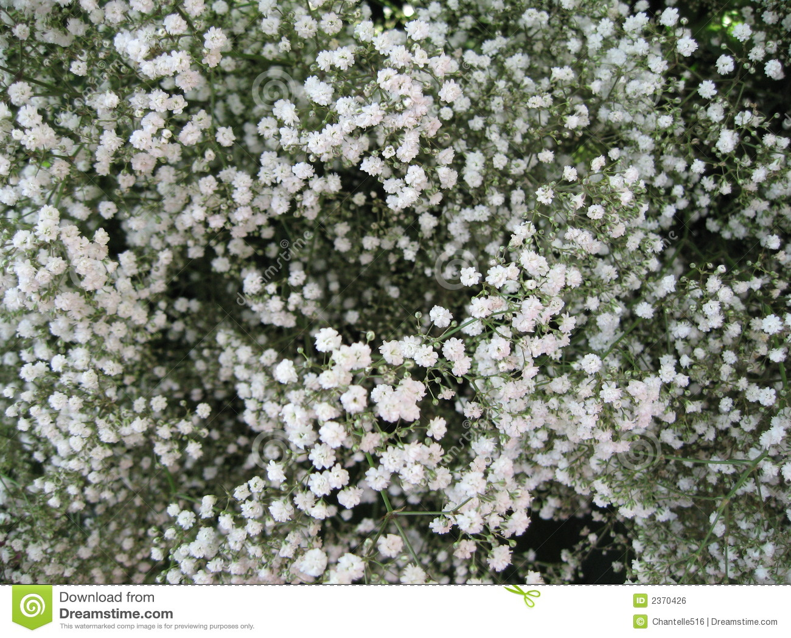 Baby S Breath Stock Photo Image Of Gardening White Pastel 2370426