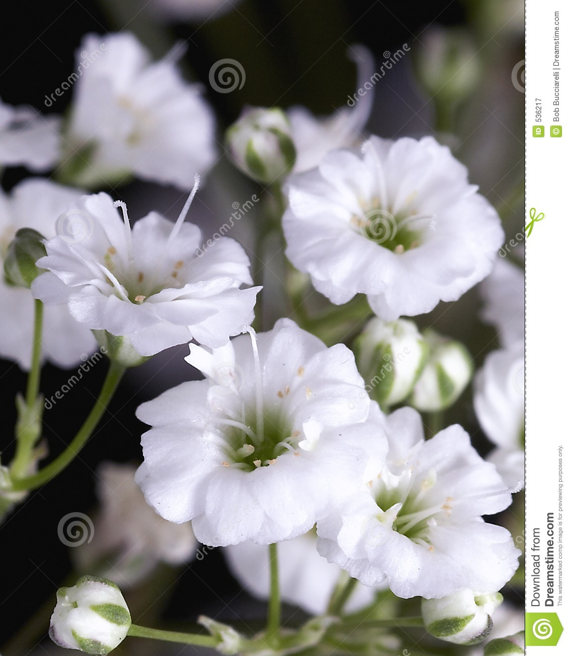 Baby s Breath Royalty Free Stock graphy Image