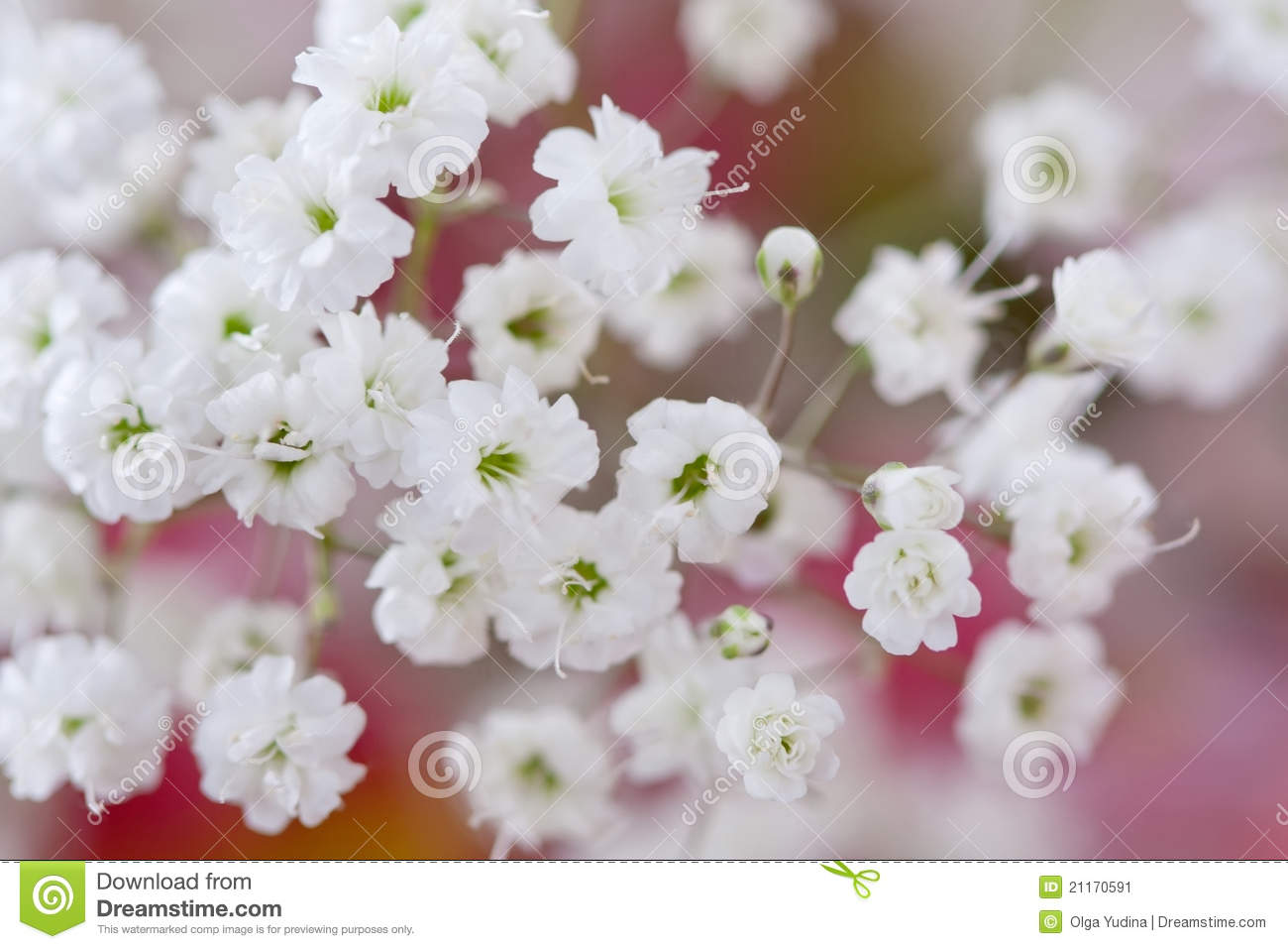 Baby s Breath Flowers gypsophila Stock Image Image