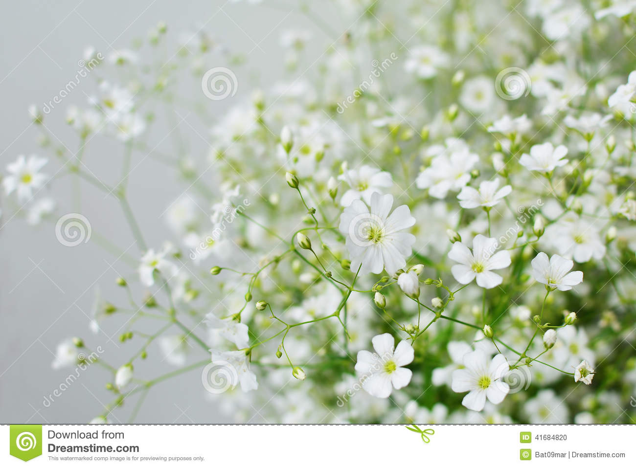 Baby s Breath Flowers Stock Image
