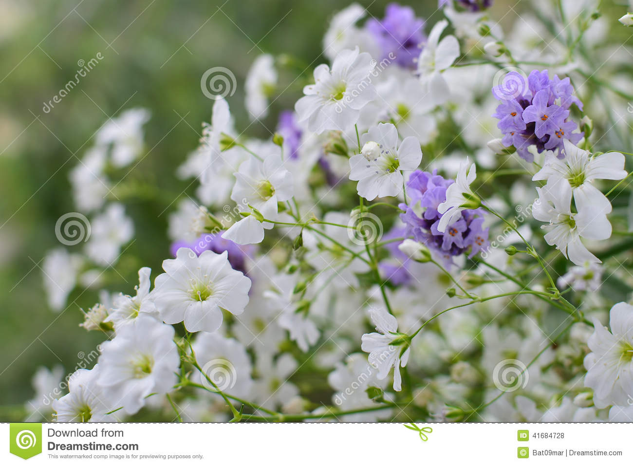 Baby s Breath Flowers And Lavender Stock Image