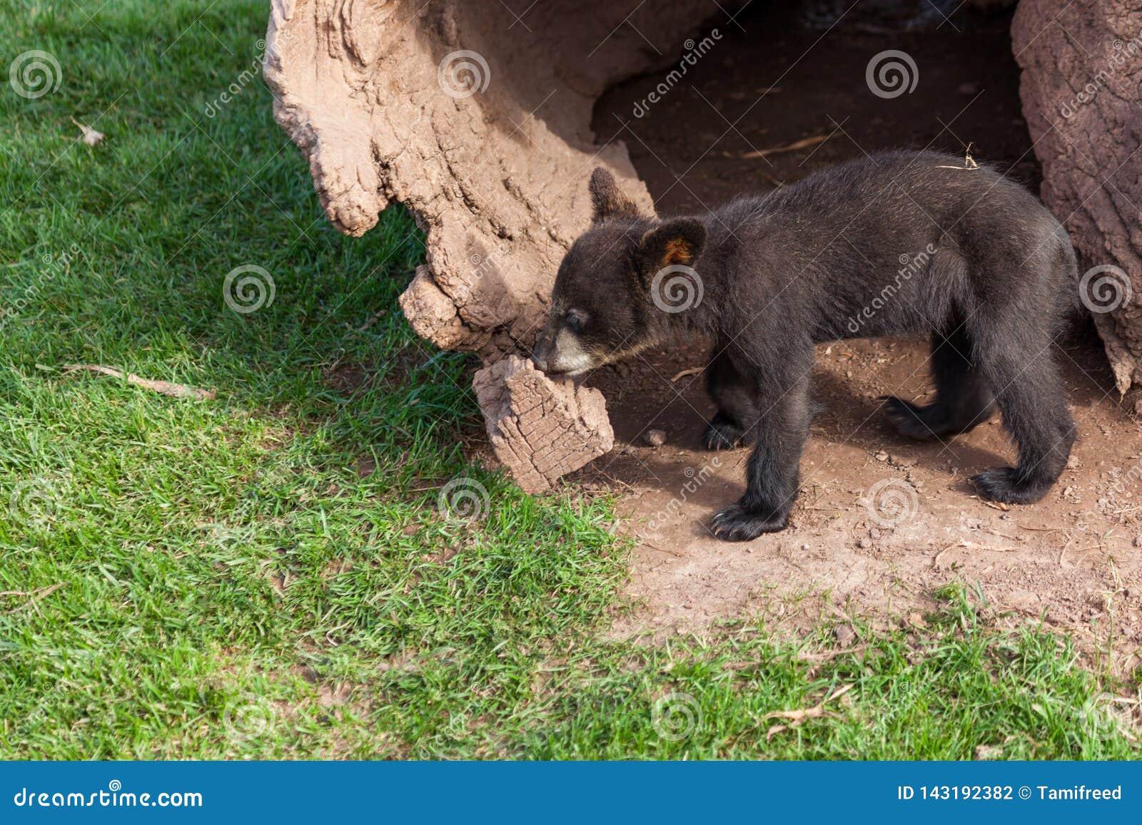 Baby-schwarzer Bär durch einen Klotz