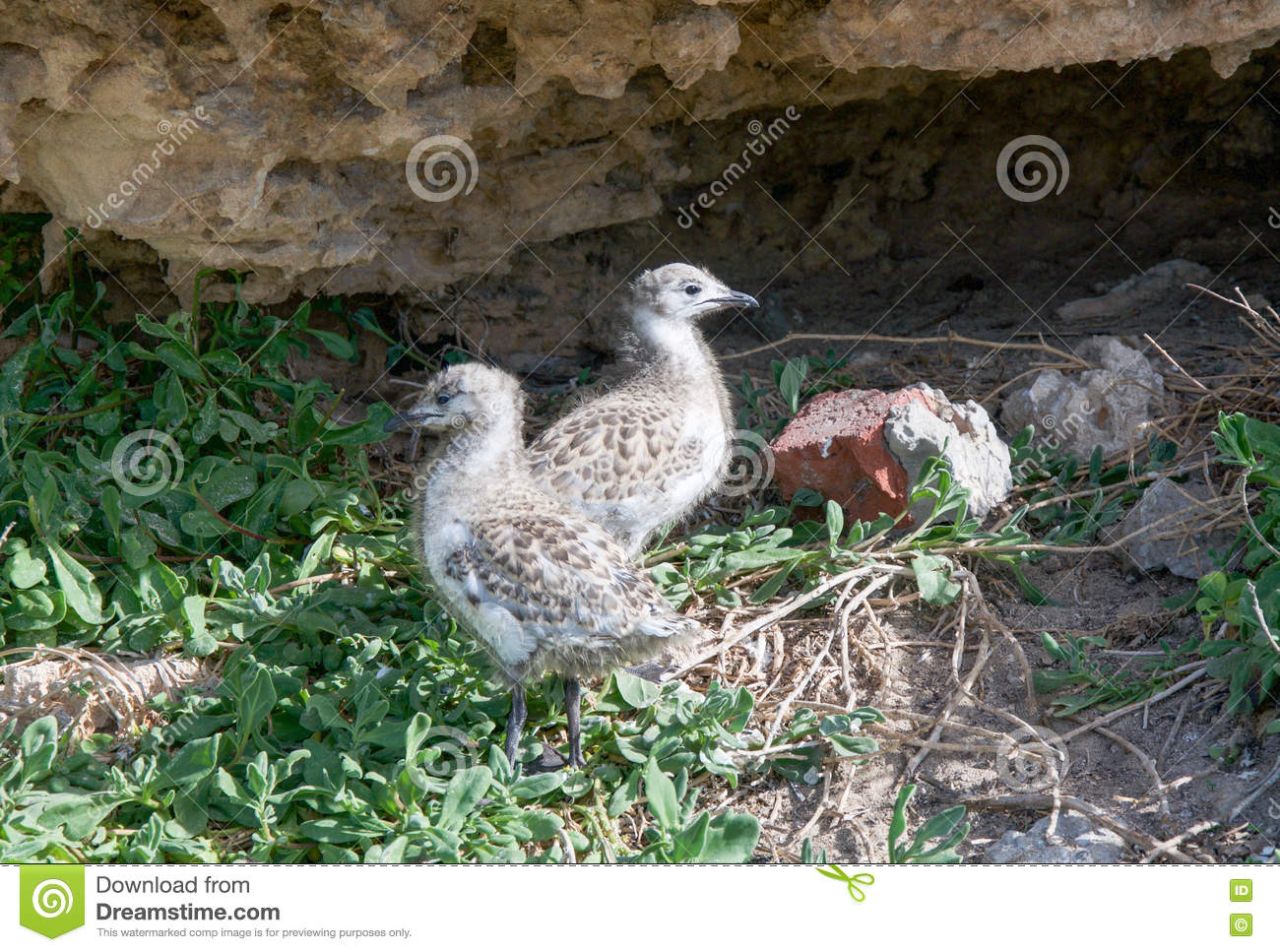Download Baby Sea Gulls At Penguin Island Stock Photo - Image of formations, coastal: 74585434