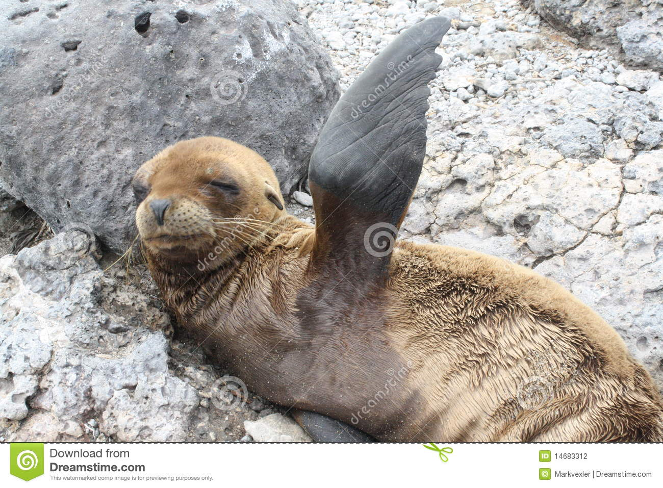 Baby Sea Lion Stock Photography - Image: 14683312