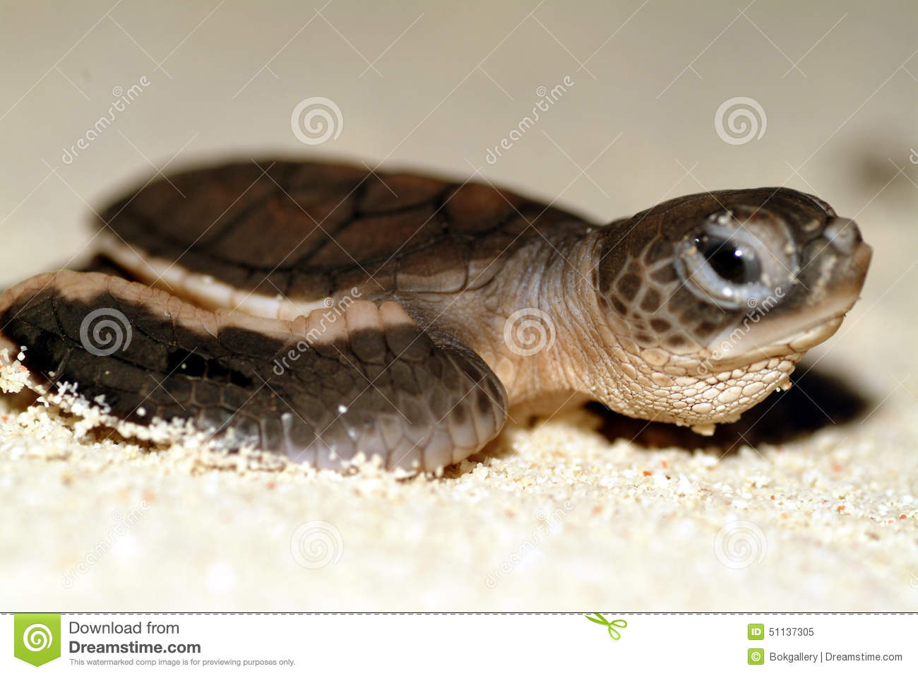 Baby Sea Turtle Crawling To Sea During Sunset Stock Photo ... - photo#47