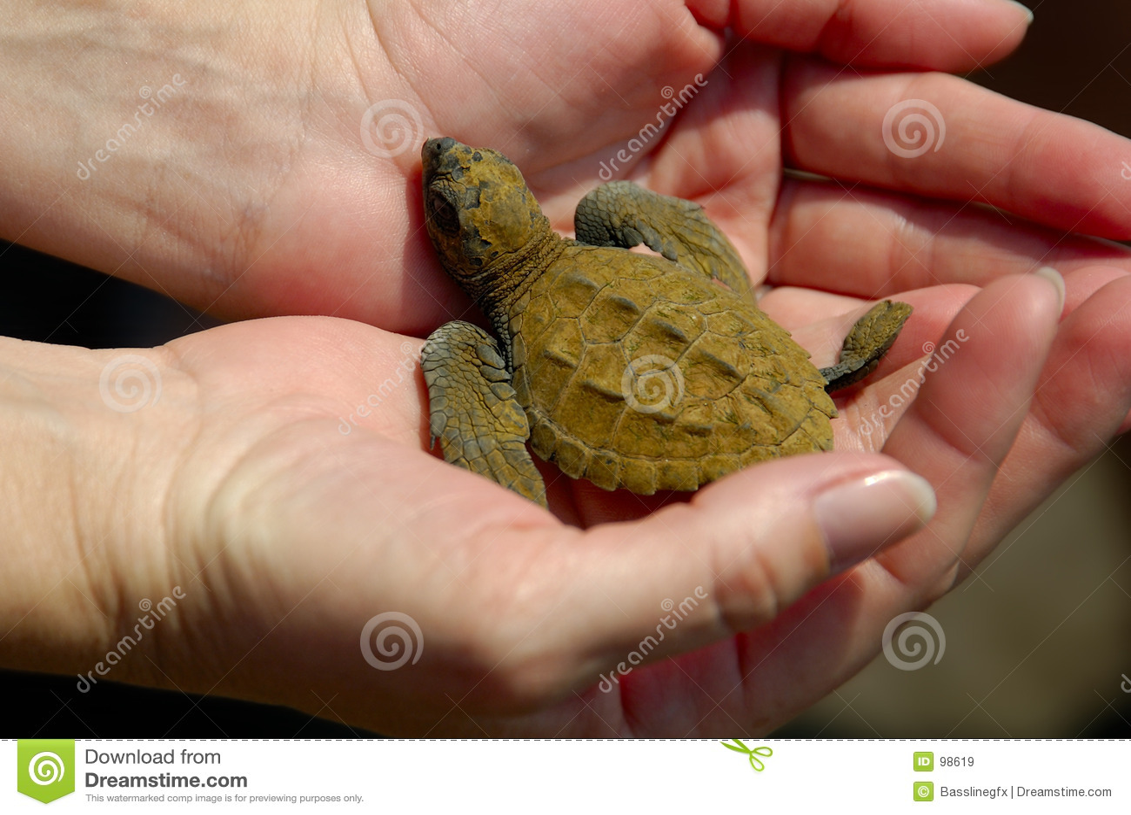 Baby Sea Turtle w/Path