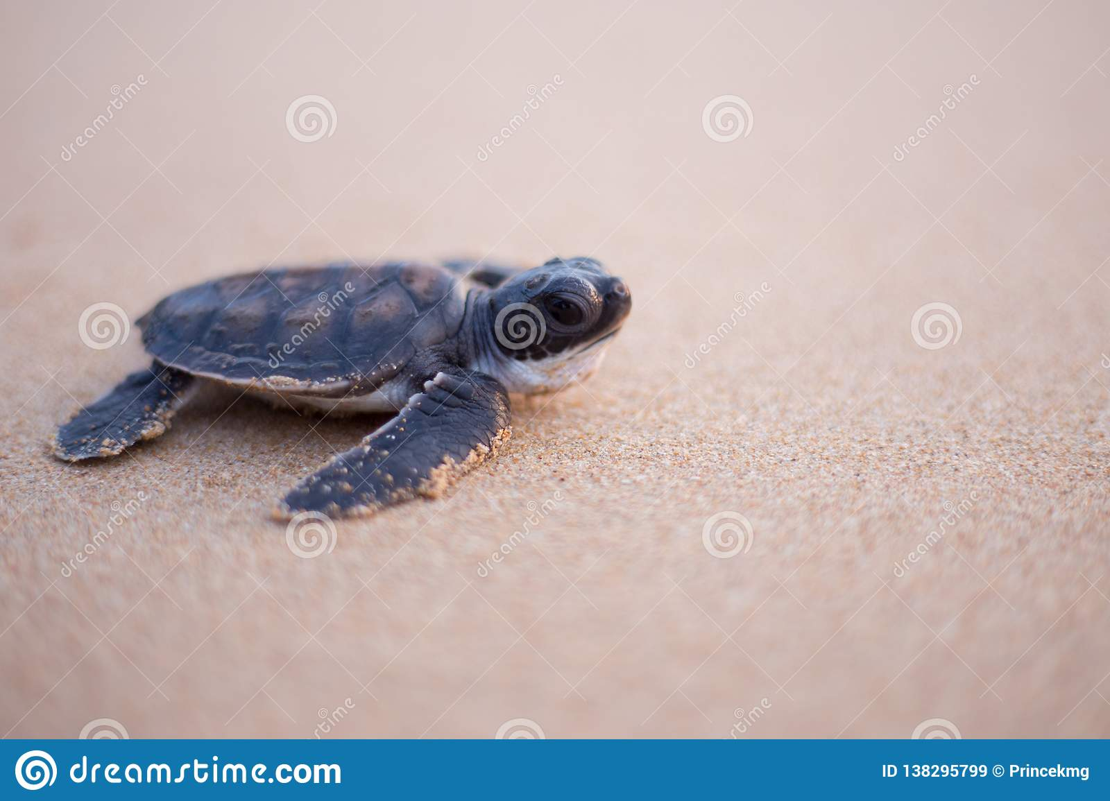 Baby Sea Turtle in the way to the sea