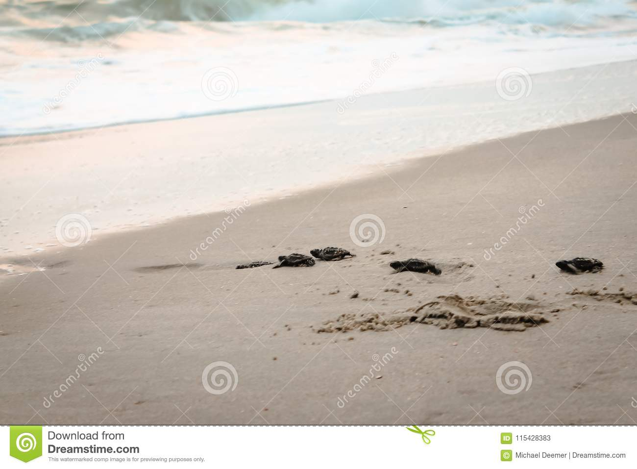 Baby Sea Turtles crawling towards the Atlantic Ocean