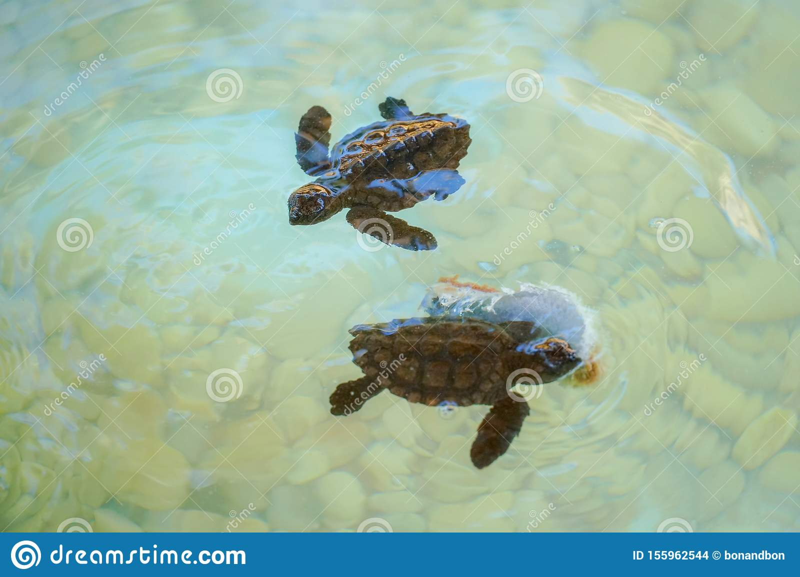 Baby sea turtles swimming and catching food