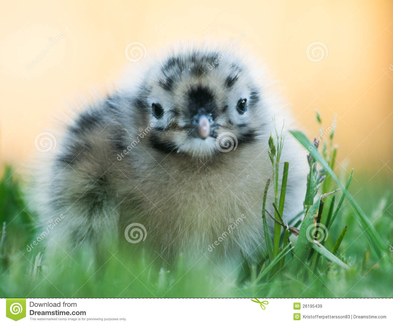 Baby seagull looking cute stock image  Image of feathers