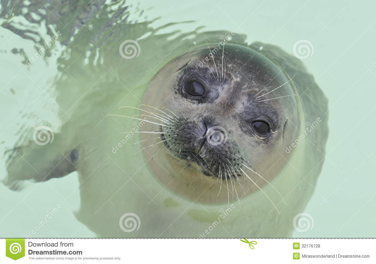 Friendly Seal Approaches Diver Now Keep Your Eyes On The