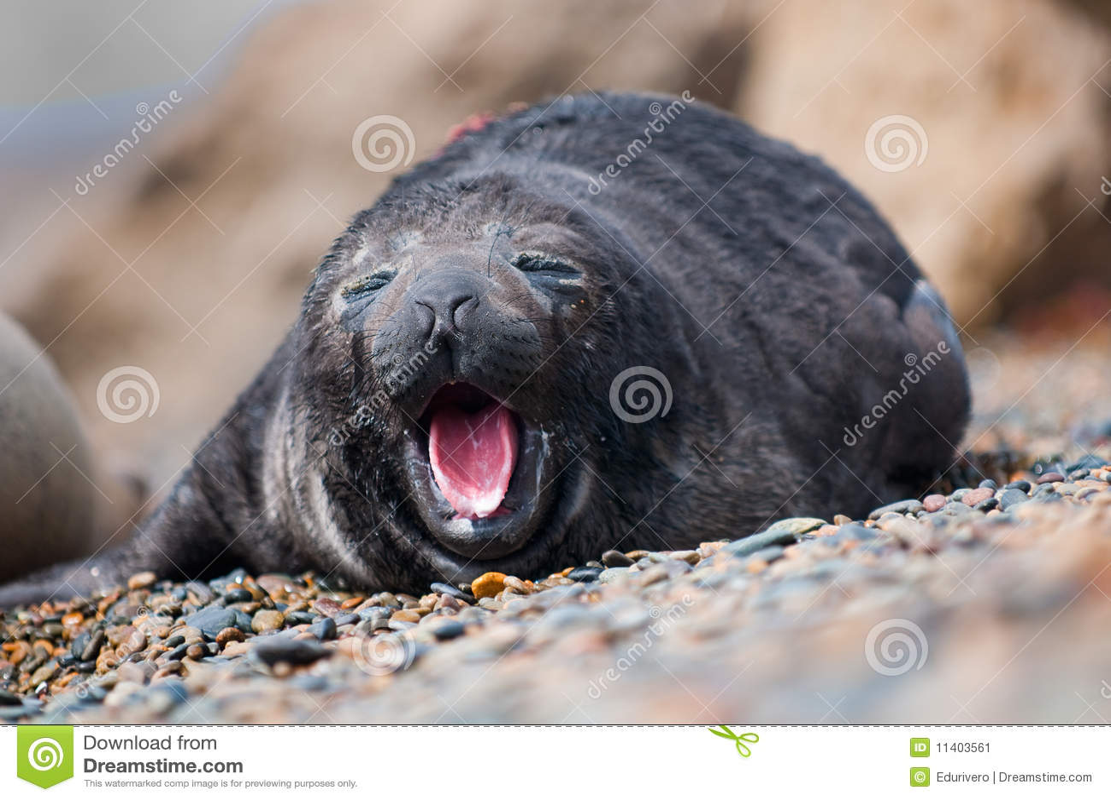 Baby Seal Yawning